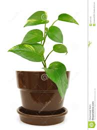 interior design interior potted plant design with small golden pothos