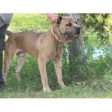 affenpinscher puppies for sale in texas mastiff breeders in texas freedoglistings