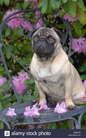 Chair In Garden Pug Dog On Chair In Garden Stock Photo Royalty Free Image