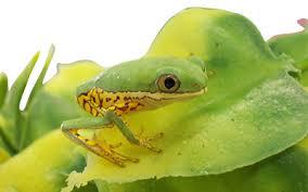 peregrine livefoods tiger leg monkey frog