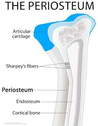 Diagram Of Knee Anatomy Periosteum Definition Location Anatomy Histology And Function