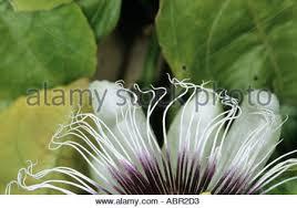 Rainforest Passion Flower - passion flower passiflora amazon rainforest brazil alta floresta