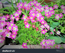Small Window Box Flowers Small Pink Flowers Bloom Window Box Stock Photo Download Now