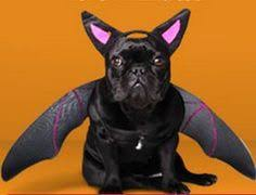 Frenchie Halloween Costume Anit Accessories Swashbuckler Pirate Dog Costume French
