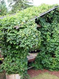 how to grow harvest u0026 dry hops