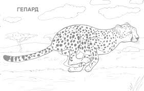 free printable coloring page cheetah animals gt cheetah with