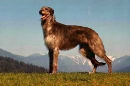 bluetick coonhound exercise bluetick coonhound dog breed information on bluetick coonhounds