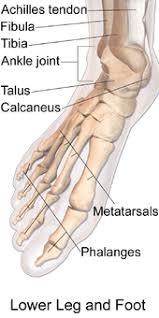 Foot Ligament Anatomy Foot Wikipedia