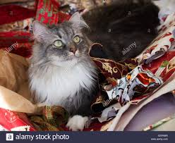 cat christmas wrapping paper grey and white siberian forest cat sitting in discarded christmas