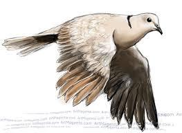 birds collared dove