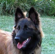 belgian shepherd tervuren 101 icebreaker the belgian tervuren project dog