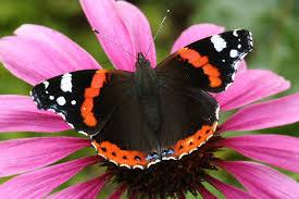 73 admiral atalanta butterflies admiral