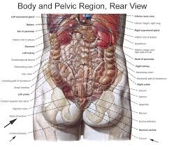 Picture Of Human Anatomy Body Anatomy Of The Pudendal Nerve Health Organization For Pudendal