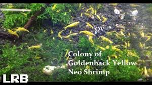qv colony of golden back yellow neocaridina freshwater ornamental