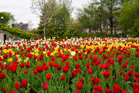 image united kingdom helmsley walled garden nature tulips spring