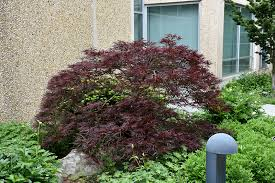 japanese maple acer palmatum in columbus
