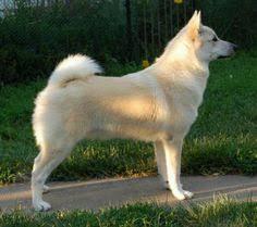 bedlington terrier seattle race bedlington terrier bedlington terrier pinterest