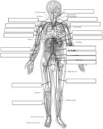 anatomy cardiovascular system labeled human anatomy chart