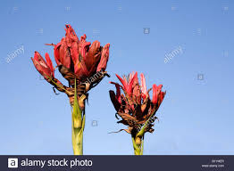 where to buy native plants gymea lilies doryanthes excelsa are spectacular australian