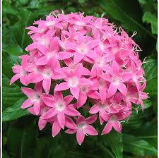Pentas Flower Pentas Flower Seeds Shop Online In India Chhajedgarden Com
