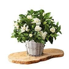 live indoor plants amazon com harry david gardenia plant gift live indoor plants
