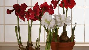 how to grow and care for amaryllis