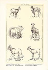 Vintage Antique Home Decor 1903 Animal Print Goat Antelopes Vintage Antique Home