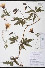 native south florida plants distimake dissectus species page isb atlas of florida plants