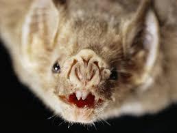 vampire bats have vein sensors