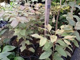 rainbow eucalyptus back in stock 20 sale continues