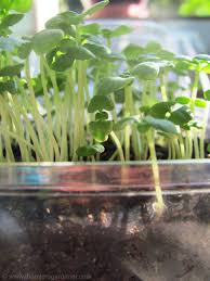 How To Store Garden Vegetables For Winter Easy Guide To Growing Microgreens The Micro Gardener