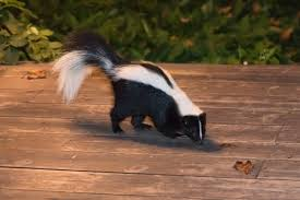 How Do You Get Rid Of Skunks In Your Backyard Removing Skunk Smell From House Thriftyfun