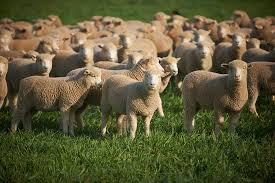 lamb australian butchers u0027 guild