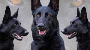 belgian shepherd how much black german shepherd youtube