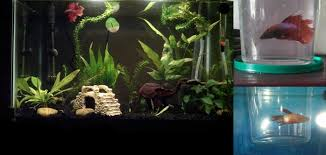 betta than a bowl betta fish aquariums betta tank inspiration