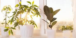 House Plants Diseases - common diseases problems for indoor plants dave u0027s garden