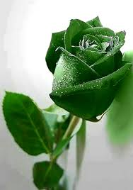green roses this is so cool it even looks real photography