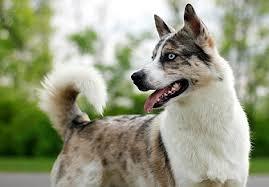 australian shepherd x husky dog coat colour genetics