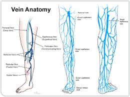 Foot Vascular Anatomy Legs Veins Anatomy Human Anatomy Chart
