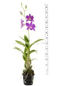 dendrobium orchid dendrobium orchid plants 12inch with bloom buy orchid plant