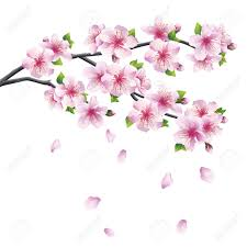 blossoming branch of sakura japanese cherry tree with falling