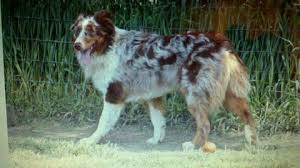 australian shepherd male names missing dog houdini lives up to his name the washington post