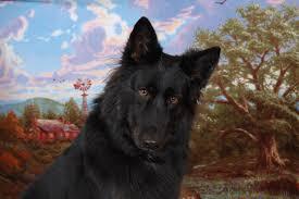 belgian sheepdog georgia wiggly grooming marietta ga 30066 yp com