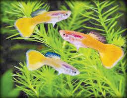 sundayobserver lk business finance ornamental fish exports to