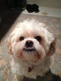 peekapoo underbite cute cuddly creatures pinterest dog