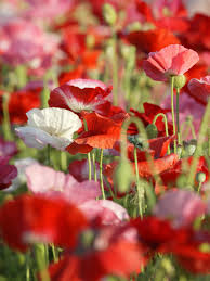 Pretty Plants by Add Colorful Poppies To Your Garden Hgtv