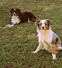 rockin diamond t australian shepherds hopefully getting one soon dogs pinterest chang u0027e 3 and aussies