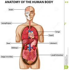 Human Body Picture All Part Of Human Body Structure Hd Image Body Names Hd Photos