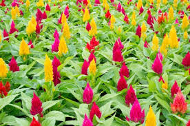 celosia flower how to grow celosia cockscomb flowers gardening channel