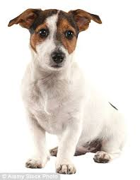 haircut ideas for long hair jack russell dogs jack russell lovers fight to keep their pets out of crufts over